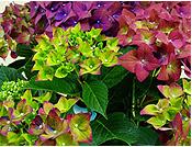 Photo:鉢植え